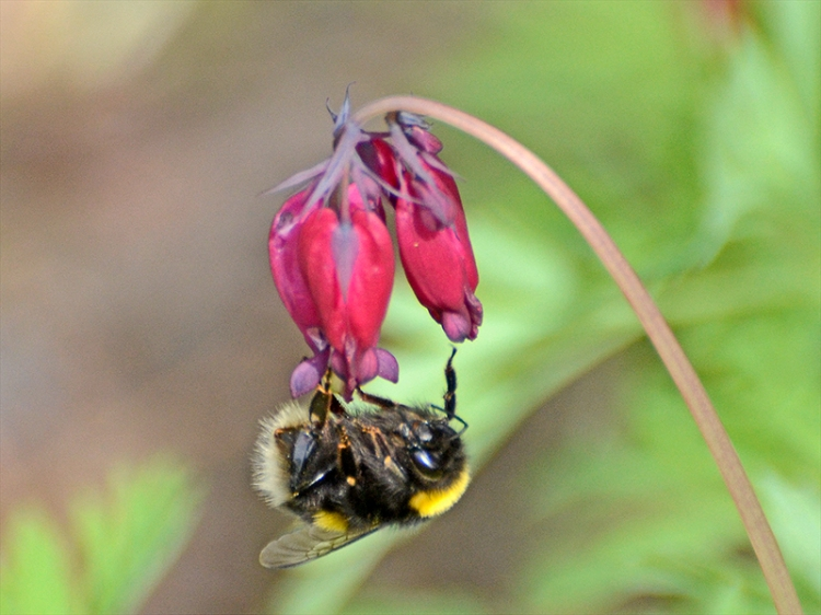 bee on dicentra bottom