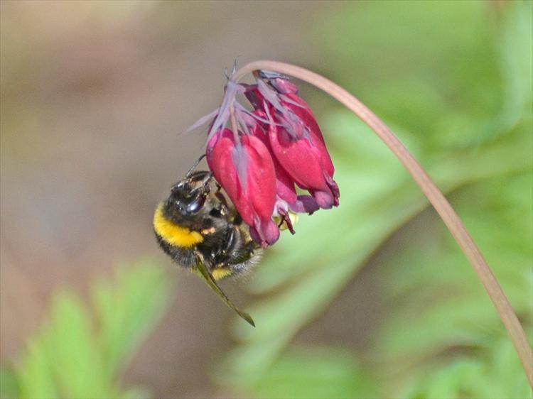 bee piercing dicentra