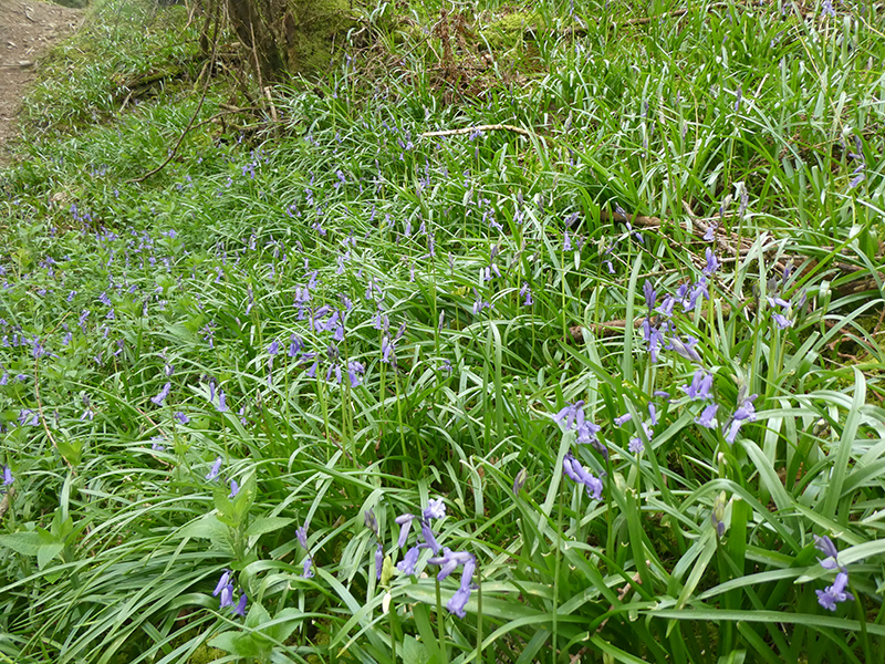 bluebells kernigal