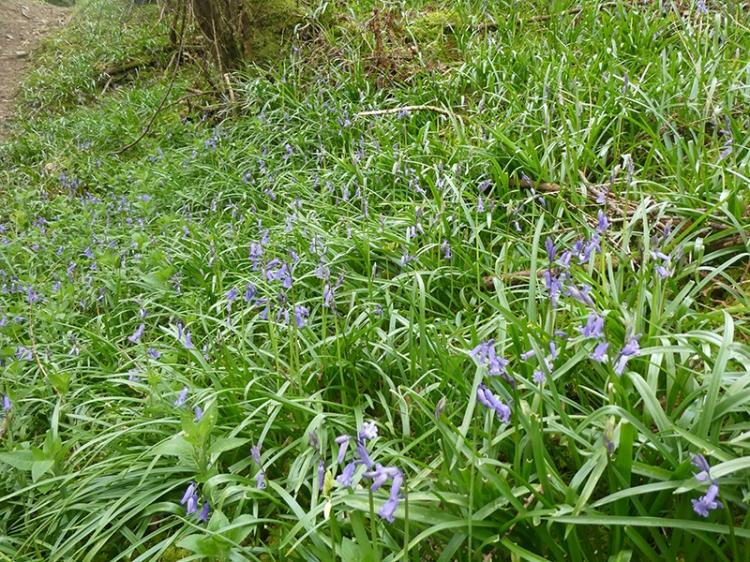 bluebells kernigal