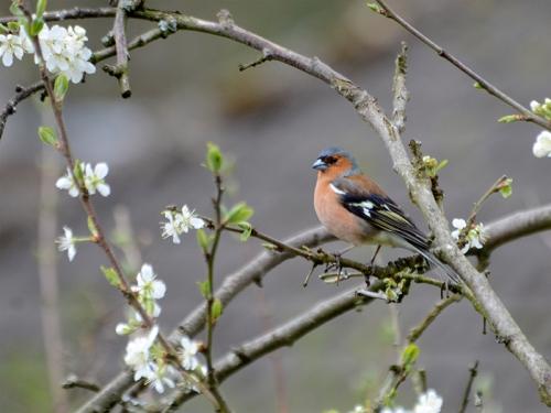 chaffinch plum blossom
