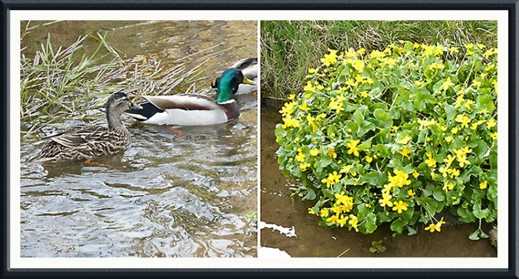 ducks marsh marigolds dam