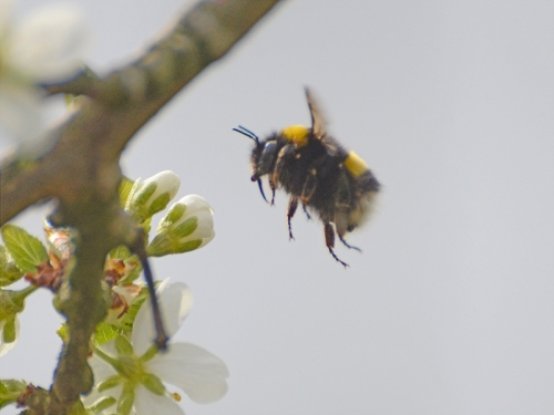 flying bee and blossom