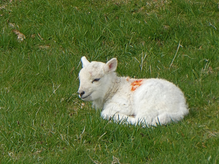 lamb at bull mountain