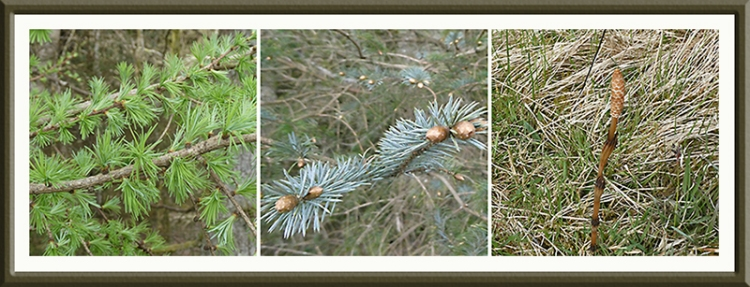 larch, spruce and horsetail;