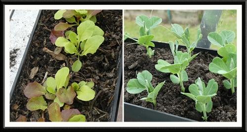 lettuce peas greenhouse