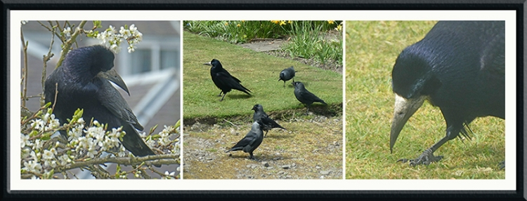 rook and jackdaws