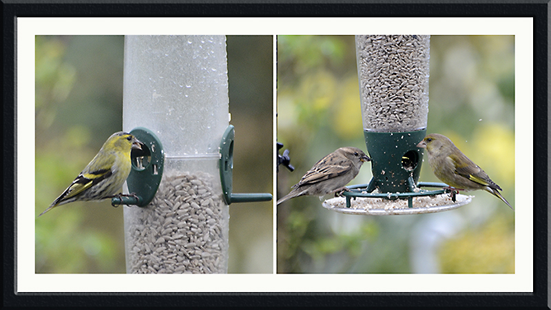 siskin, greenfinch, chaffinch