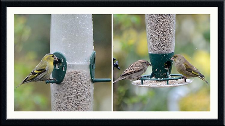 siskin, greenfinch, chaffinch