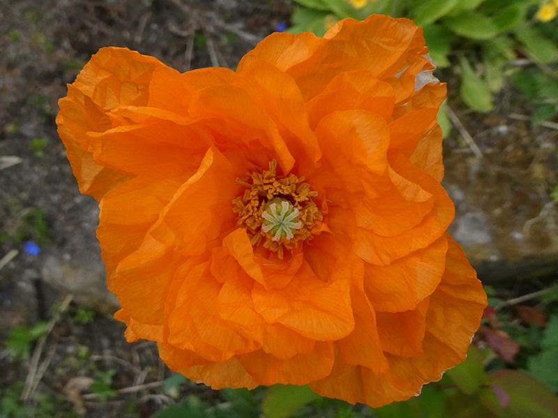 vivid icelandic poppy