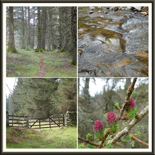 wood walk, wauchope, gate, larch flowers