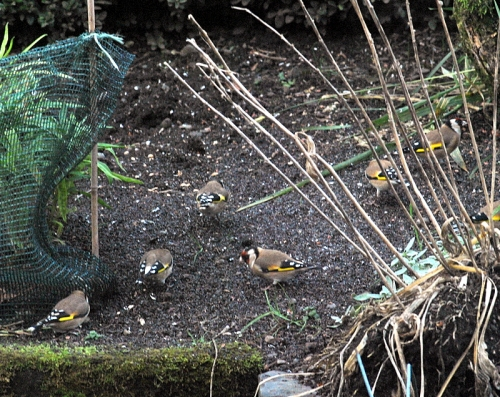 7finches