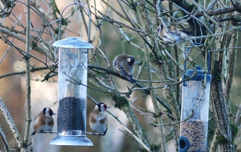 coldfinches