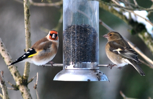Two finches