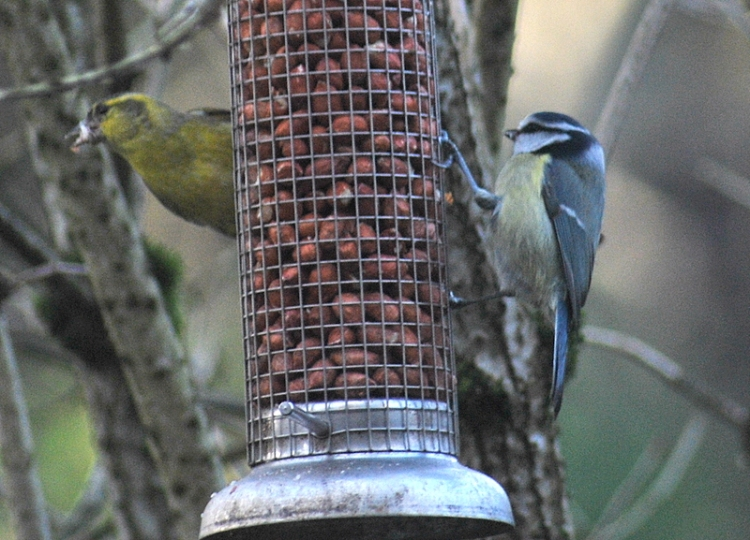 siskin and tit