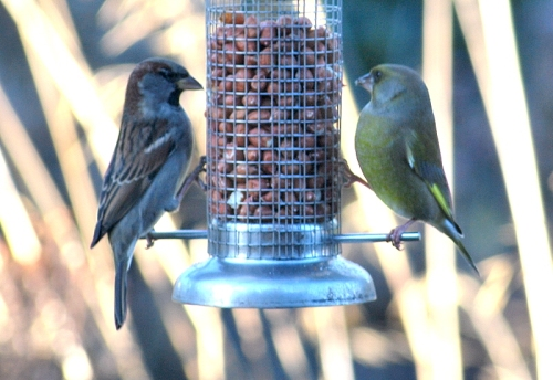 sparrow greenfinch combo