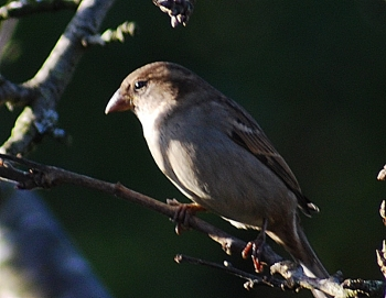 sparrow perching