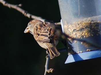 sparrow with seed