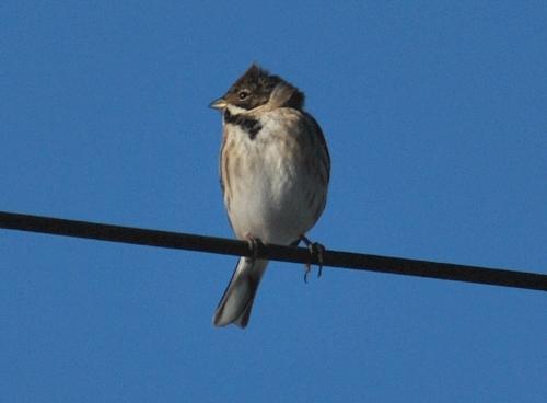 wiresparrow