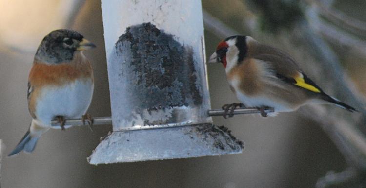 brambling goldfinch