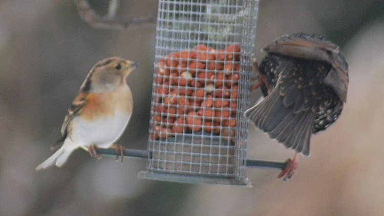 brambling starling