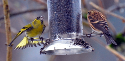 fierce siskin
