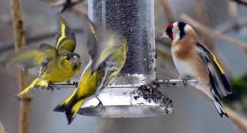 more fierce siskins