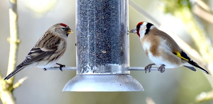 redpoll goldfinch