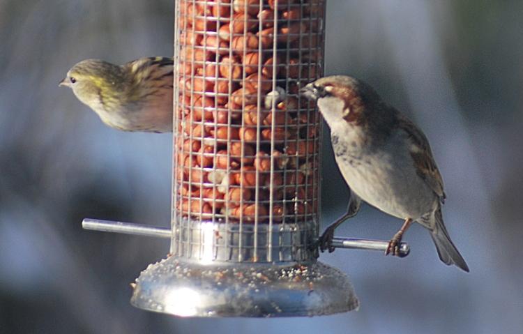 sis sparrow