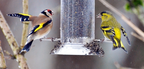 sisking goldfinch flapping