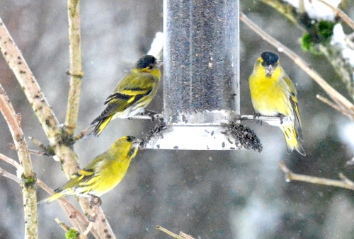 three siskins