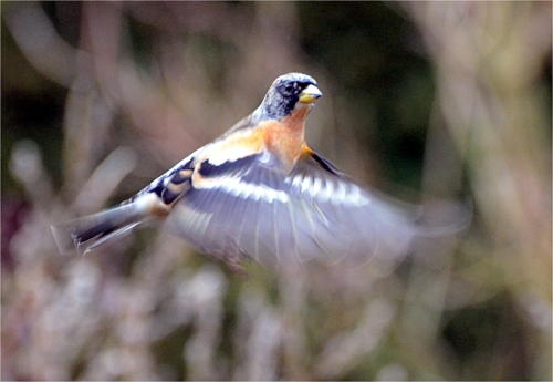 brambling flying