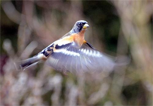 brambling flying