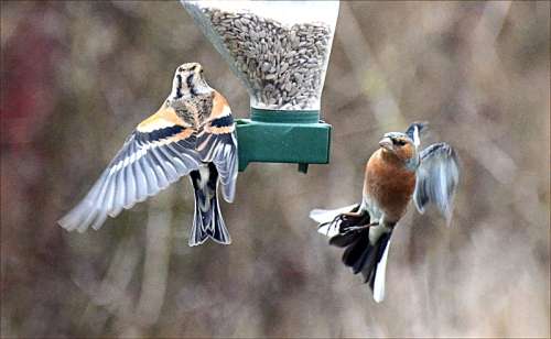 brambling chaffinch