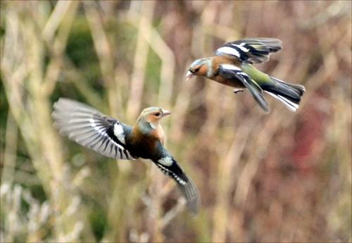 chaffinch aerial ballet
