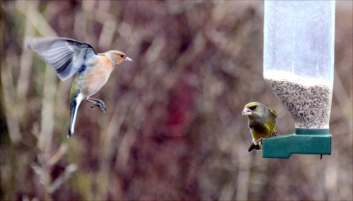 chaffinch greenfinch