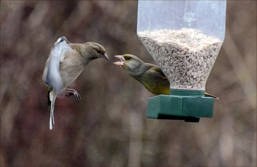 chaffinch greenfinch