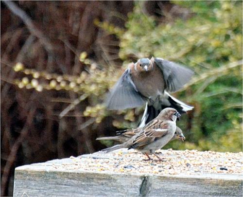 chaffinch sparrow