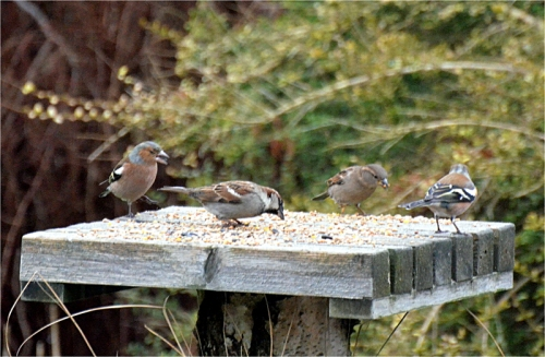 chaffinches sparrows
