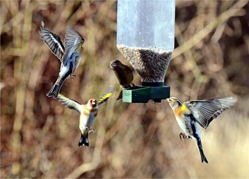 brambling goldfinch greenfinch