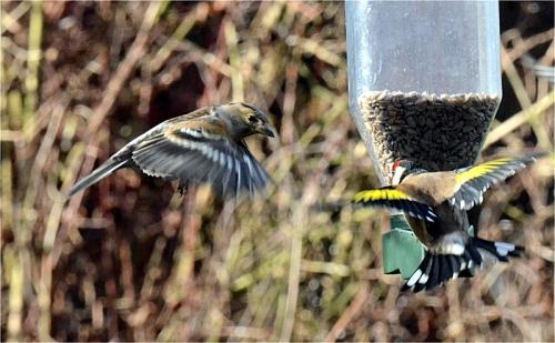 flying brambling goldfinch