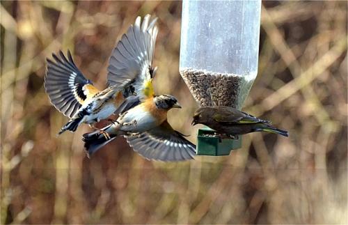 bramblings greenfinch