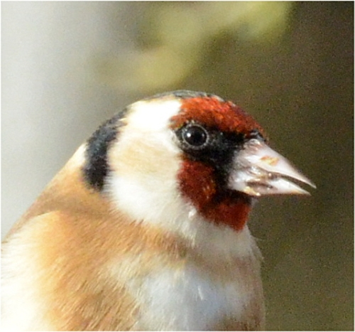 goldfinch head