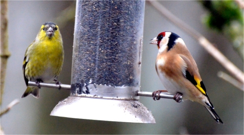 siskin goldfinch