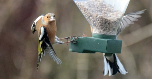 chaffinch hanging on