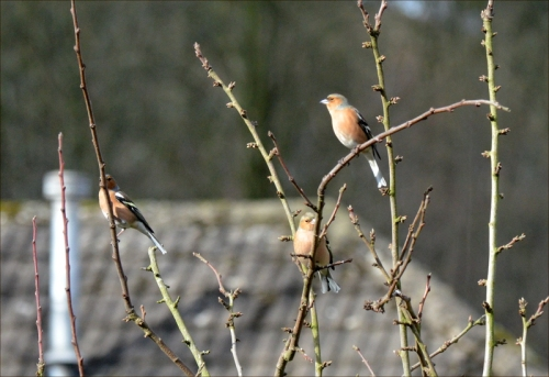 chaffinches plum tree