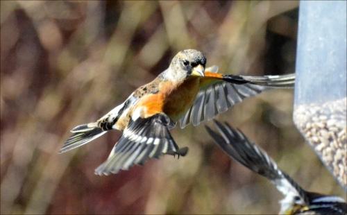 flying brambling serious