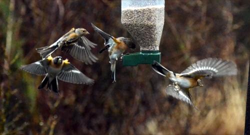 flying bramblings one seed 2