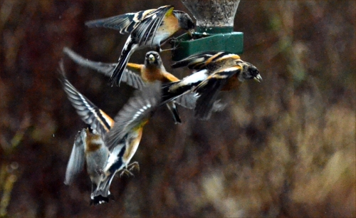 flying bramblings one seed