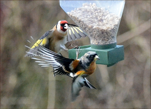 flying goldfinch brambling
